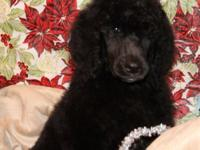 AKC ... basic poodle young puppies,. I have five lovely