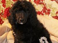 AKC conventional poodle puppies. , I only have 2 black