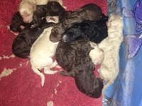 have a litter of 11 AKC basic poodle young puppies.