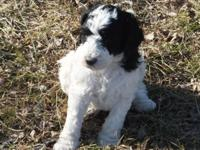 I have 3 adorable male AKC Standard Poodle puppies