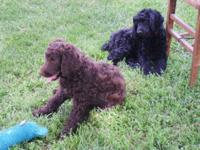 I have 8 gorgeous and healthy puppies for sale! 3 black