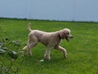 Hi :) I have another exquisite line of Standard Poodles