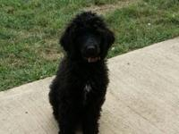 Beautiful Double registered (AKC & CKC) Standard Poodle