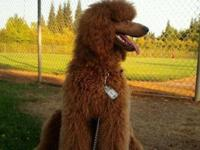 AKC Standard Poodle pups were born 10/7/2015. Ready to