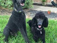 Standard Poodle Puppies Available! Puppies were born