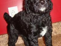 AKC Registered Standard Poodle Puppies Available I have