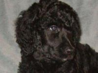 Requirement poodle young puppies Moms and dads are from