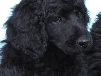 Beautiful STANDARD POODLE PUPPIES Puppies Born July 3,