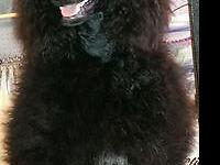 Beautiful AKC standard poodles,parents on property.Both