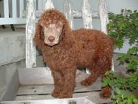 We are offering AKC standard poodle puppies-8wks old