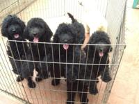 AKC Papered Standard Poodle Puppies - Purebred and from