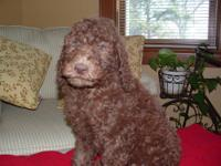 We are offering 9 AKC standard poodles-7 boys and 2