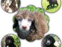$600-Full AKC Standard Poodle pups will be 10 weeks old