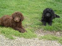 We are offering 4 AKC standard poodle puppies-3 boys