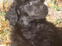 AKC basic poodle puppies for Christmas! Will be all set