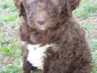 AKC Registered Standard Poodle Puppies. 1 black Male 2