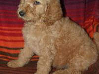 Beautiful Standard Poodle puppies; 2 apricot males, 4