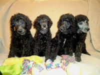 AKC Standard Poodle Puppies-we have a beautiful litter