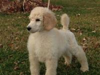 We have AKC Standard Poodle Puppies ~ 1 Ice White Boy &