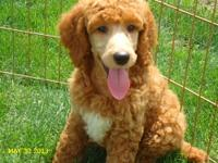 AKC Standard Poodle Puppies; 9 weeks old, Vet checked,