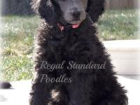 AKC Standard Poodle Puppies Born 10/10/14 (They are 6