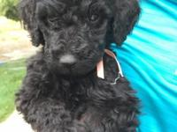 Black Standard Poodle Puppies born 5/30/15 (10 weeks