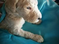 Stunning AKC Standard poodle puppies! Now accepting