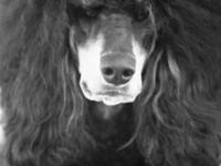 Standard Poodle puppies. Males and females. Solid and