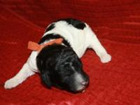 The puppies have arrived! Sire is a gorgeous black and