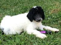 10 weeks AKC Standard Parti Poodles. Born on March 14,
