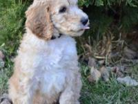 We have 5 Darling Poodle Puppies, AKC Standards. Red,