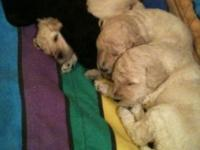 AKC Standard Poodle Puppies We have white's, cream's