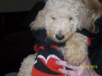 "1 Standard Poodle Male Puppy,""nicknamed""Frosty Paws""is"