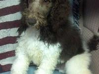 AKC parti-poodle for sale born 11/03/12. This is a