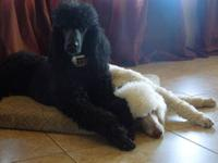 AKC Male Standard Poodle His name is Pinto Bean Pinto