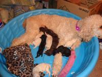 AKC Standard Poodle Puppies for sale. We have our first