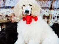 AKC basic poodle child. LAST MALE PUPPY PRICE REDUCE 16