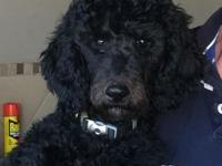 AKC Standard Poodle male 4 month old puppy. Shots,