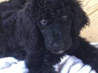 AKC registered male poodle puppy. Six months old. House