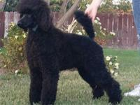 Beautiful AKC Standard Poodle Puppy ~ Parents are dule