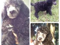 $500-Full AKC Standard Poodle puppy, is ready to