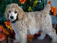 PREPARED TO GO !! BEAUTIFUL APRICOT STANDARD POODLE