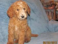 AKC Registered Standard Poodle puppies born June 20th,