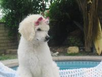 AKC standard poodle puppies,11 weeks old shots up to
