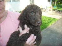 I have a good litter of basic poodle young puppy's. I