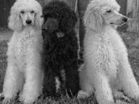 Standard poodle young puppy - 6 months old, now