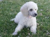 Stunning AKC Standard Poodle Puppy ~ White Girl Moms