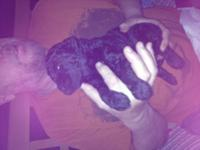 Cute and Curly standard poodle puppies....we had two