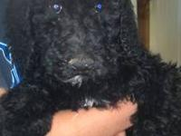AKC registered Standard poodle puppies, 2 males and 4