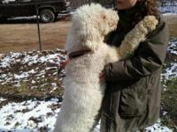 AKC Specification Poodle doggies. Upcoming clutter.
